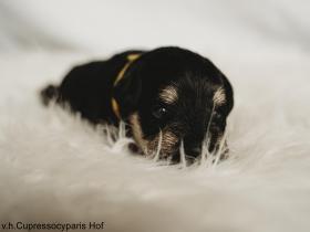 Puppy_geel1