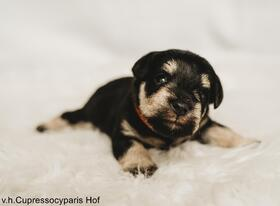 Puppy_oranje